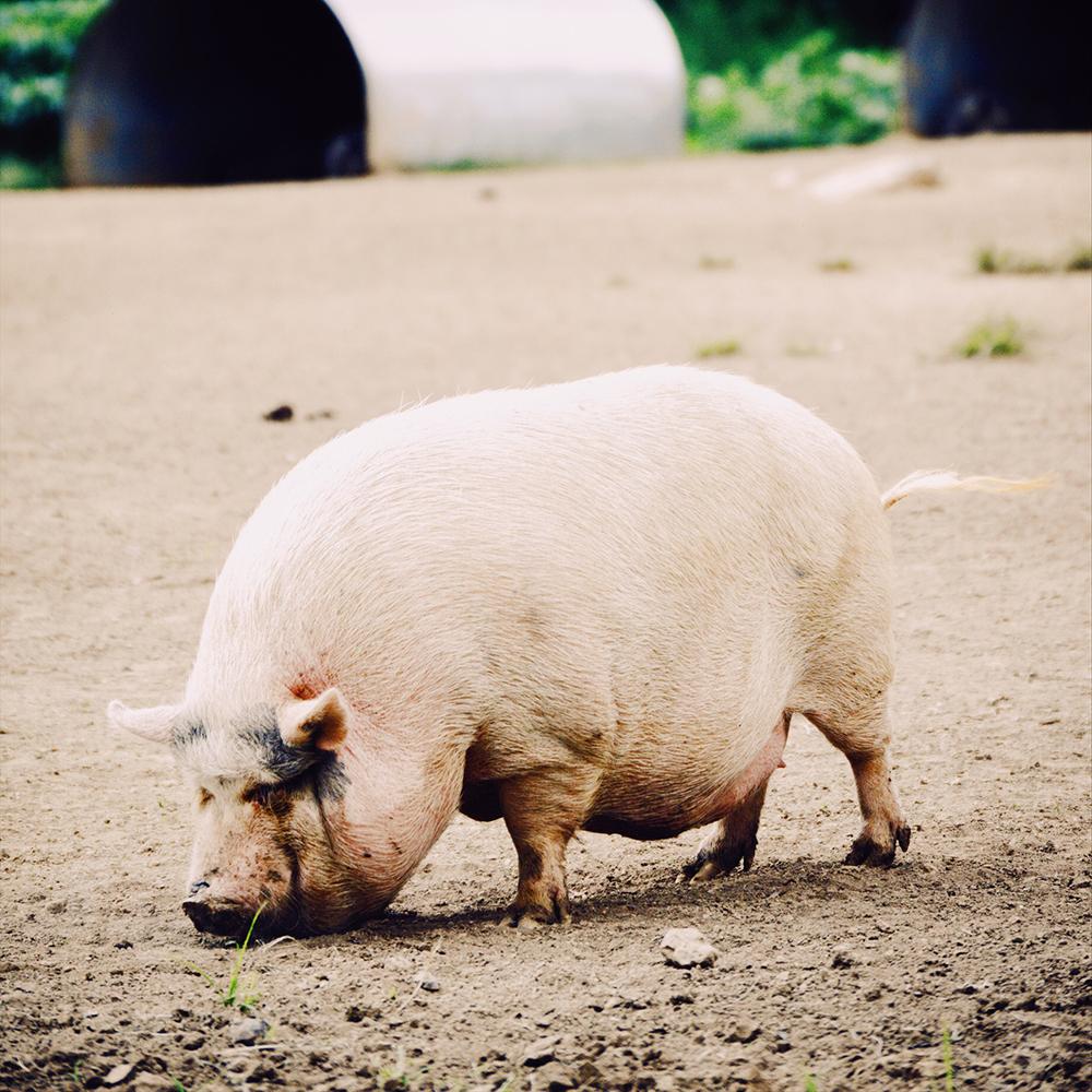 junk food à Paris cochon